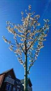Blomstrende kirsebærtræ i Bredgade i Langå 20.4.2019